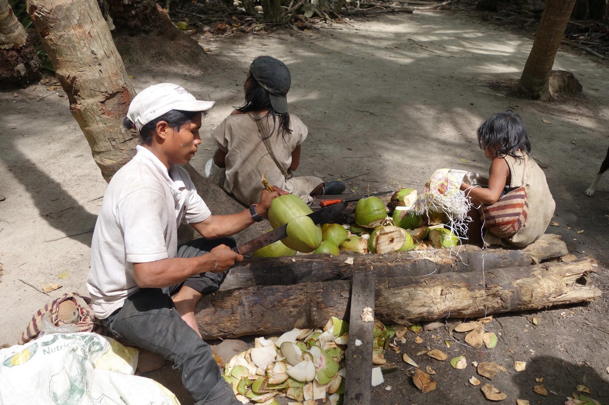 Parque Tayrona erntefrische Kokosnüsse