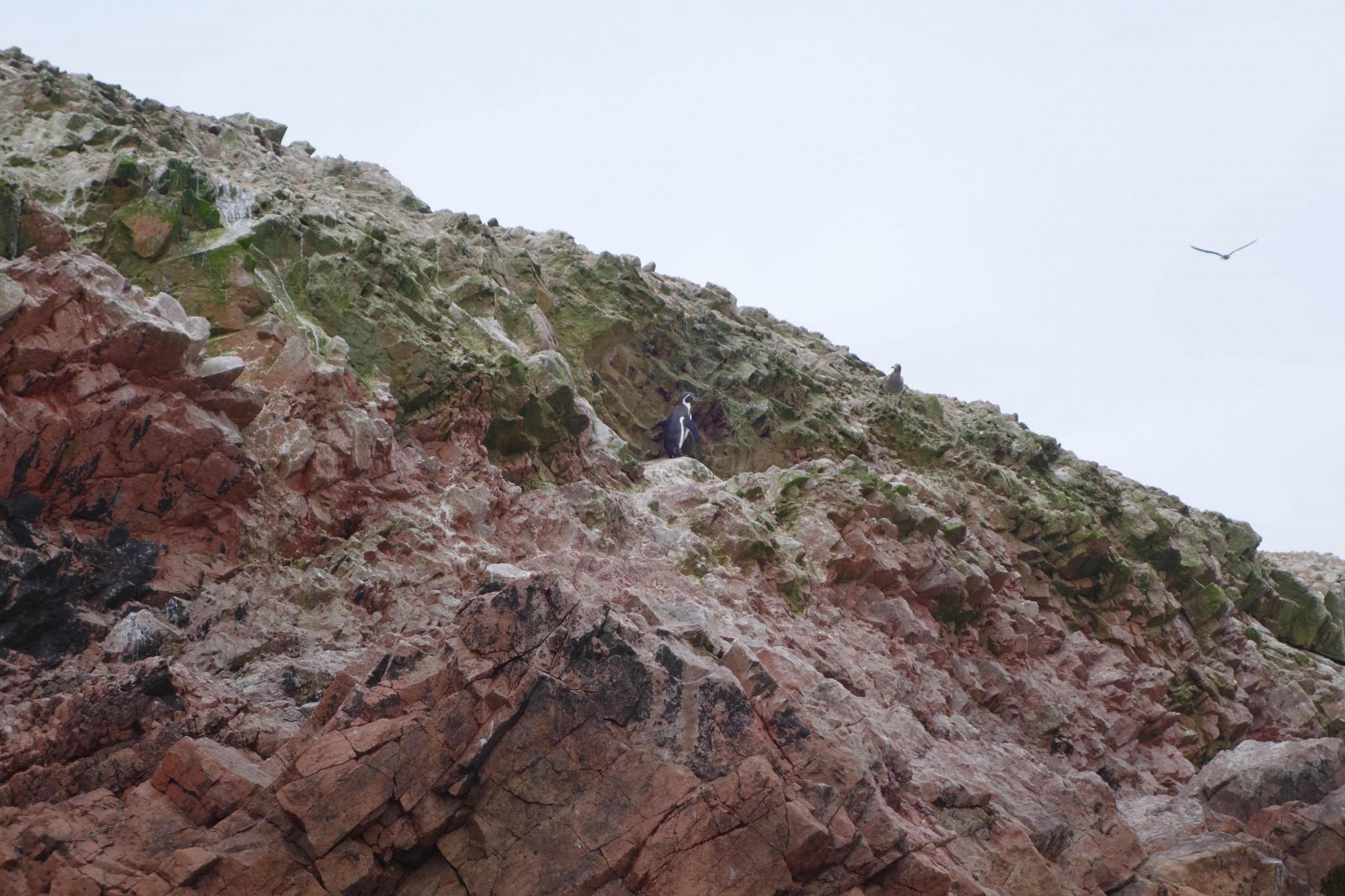 paracas_islasballestas_pinguin