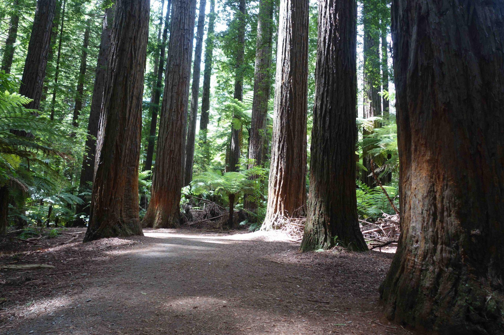 Rotorua_WhakarewarewaForest_4