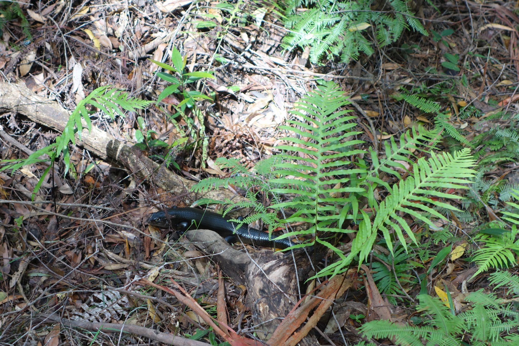 Australien_Tiere_Reptilien