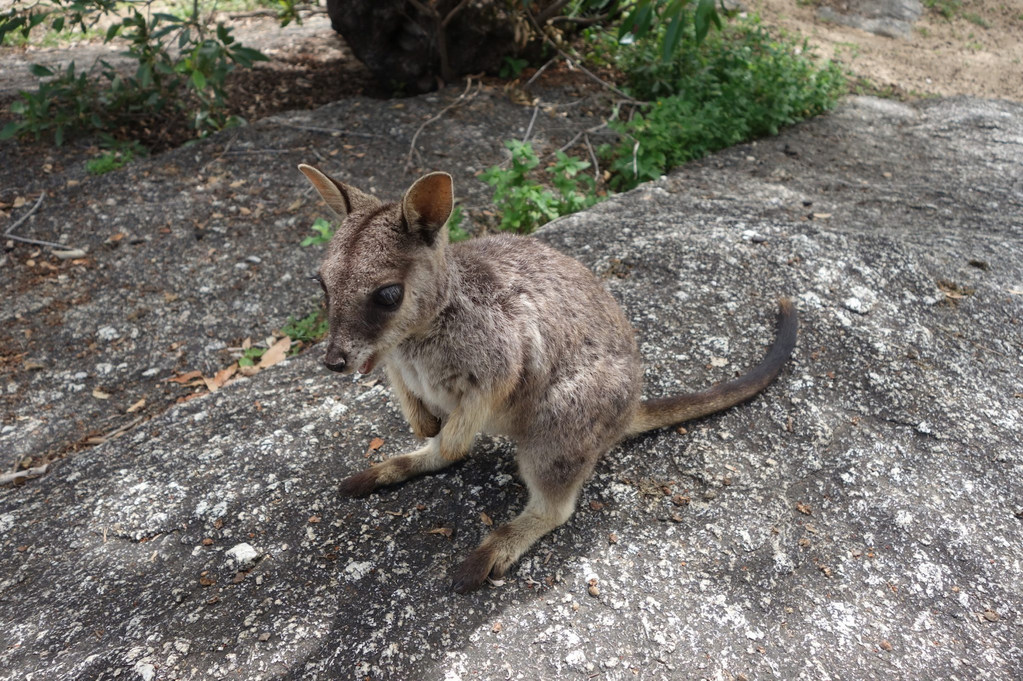 Australien_AthertonTablelands_15_GraniteGorgeNaturePark_Wallabies