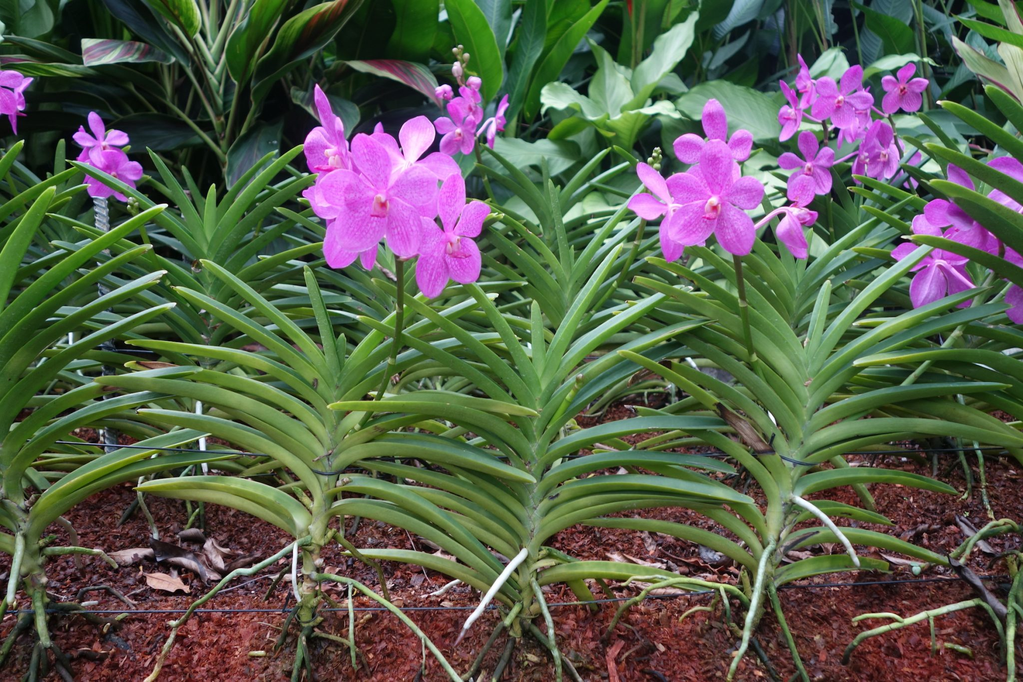 Singapur_BotanicGardens_4_Orchideen